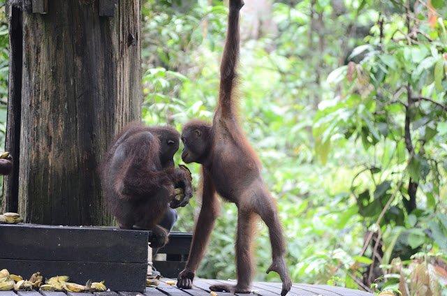 Orangutans at Sepilok Orangutan Rehabilitation Centre