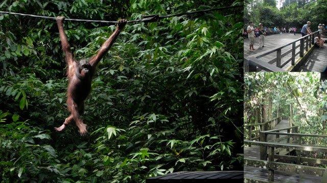 Orangutans and walkways at Sepilok Orangutan Rehabilitation Centre