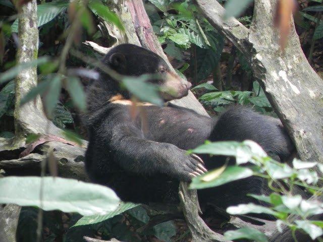 Sun Bear, Borneo Sun Bear Conservation Centre