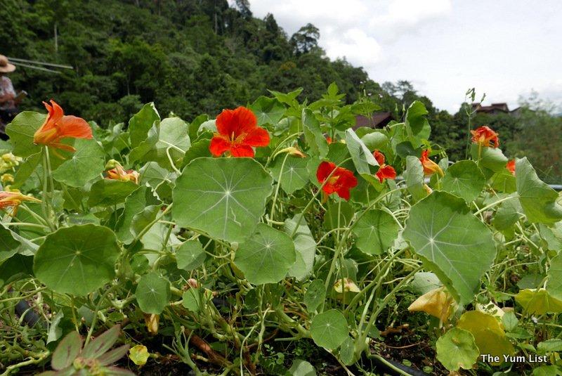 A Little Farm On The Hill, Janda Baik, Bentong