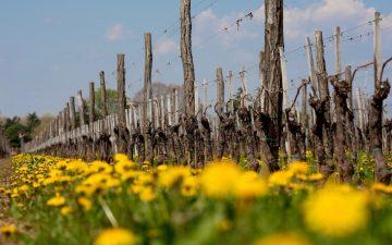 Biodiverse Vineyard at Scarbolo, Friuli